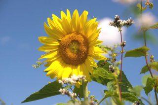Blühende Sonnenblume vor blauem Himmel