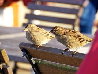 Zwei Vögel sitzen auf der Lehne eines hölzernen Terassenstuhls